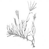cynodon_dactilon